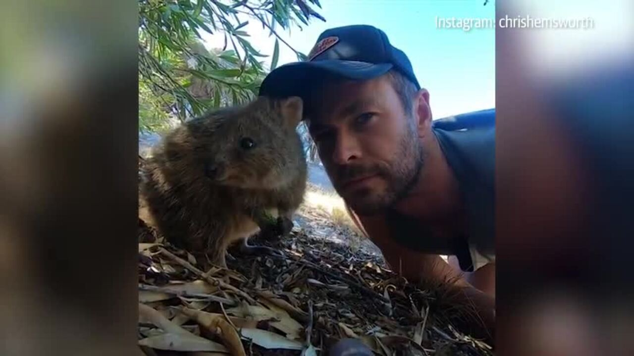 Chris Hemsworth has posted video of himself sharing a twig with a quokka on Rottnest.