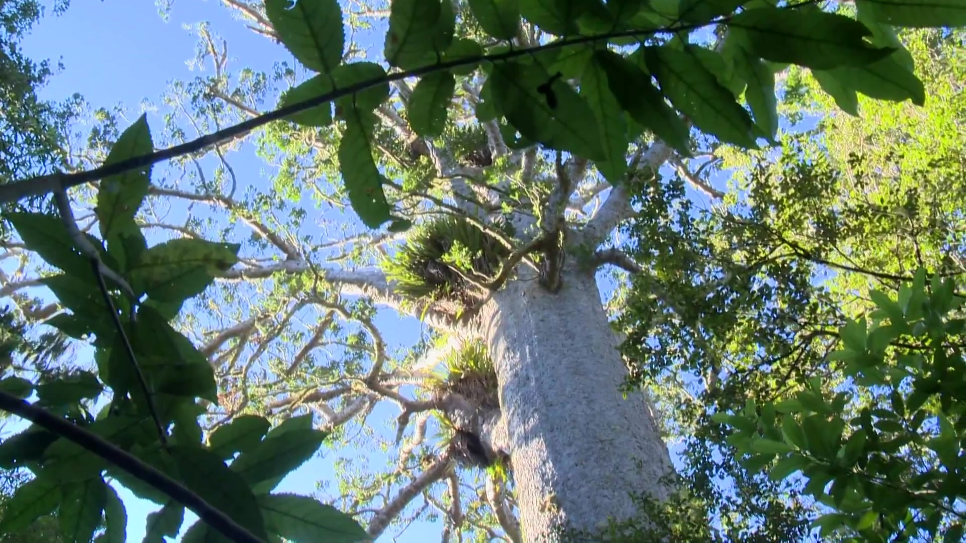 Video for North Shore tracks to close to stem kauri dieback