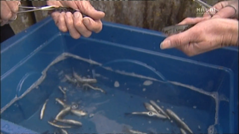 Video for Iwi want law change to commercially farm trout