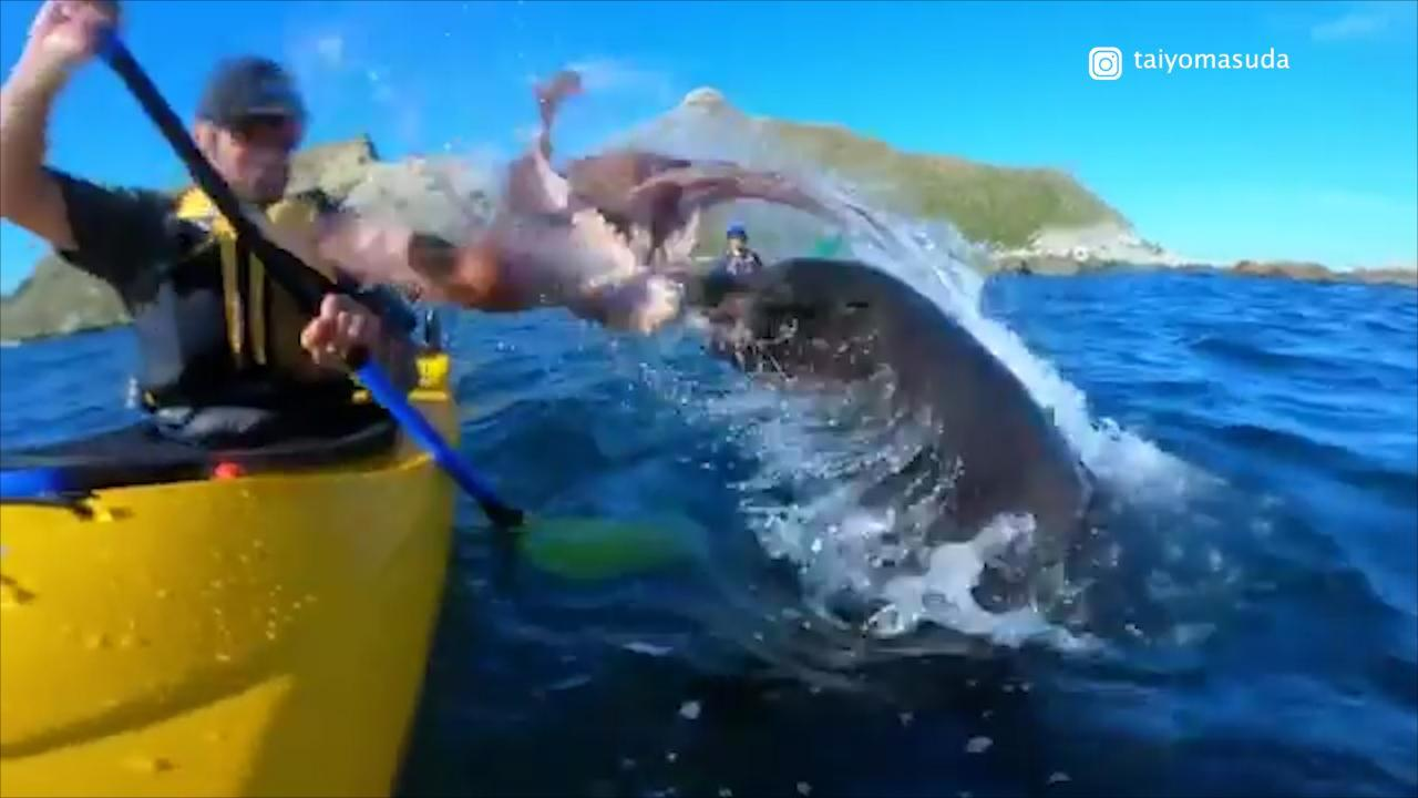This isn't something you see everyday. Kyle Te Kiwi was kayaking in New Zealand waters when a seal launches itself out of the water, smacking him in the face with an octopus. The entire thing was caught on camera.