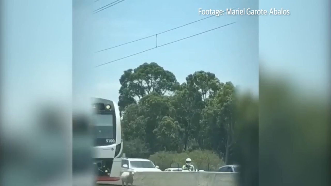 WARNING - DISTRESSING FOOTAGE: A sheep on the train tracks near Cockburn has brought Kwinana Freeway traffic to a standstill.