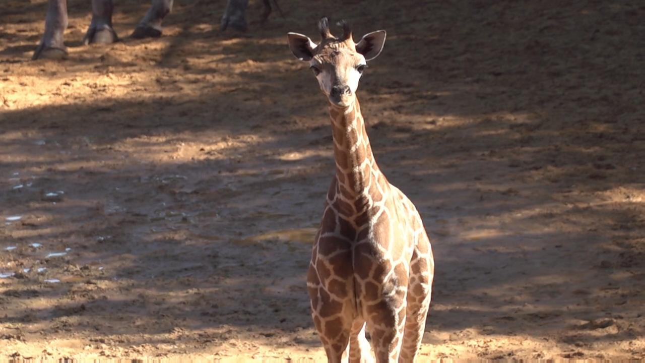 It was a family affair today, when Perth Zoo's  new baby giraffe made her first public appearance.