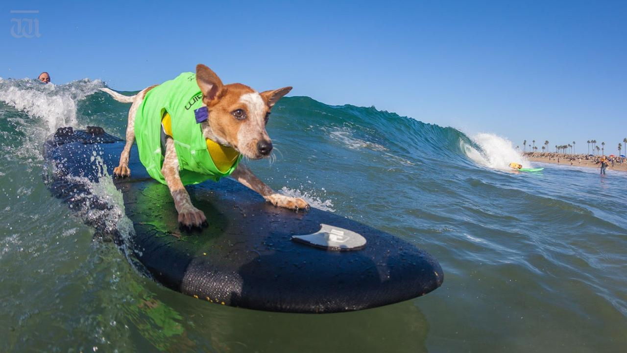 The 10th annual Surf City Dog competition will take place on Saturday, September 29 at Huntington Dog Beach.