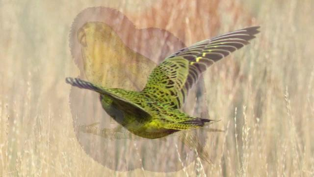 Listen to the audio recording of the elusive night parrot, captured by the Busselton Naturalists Club.