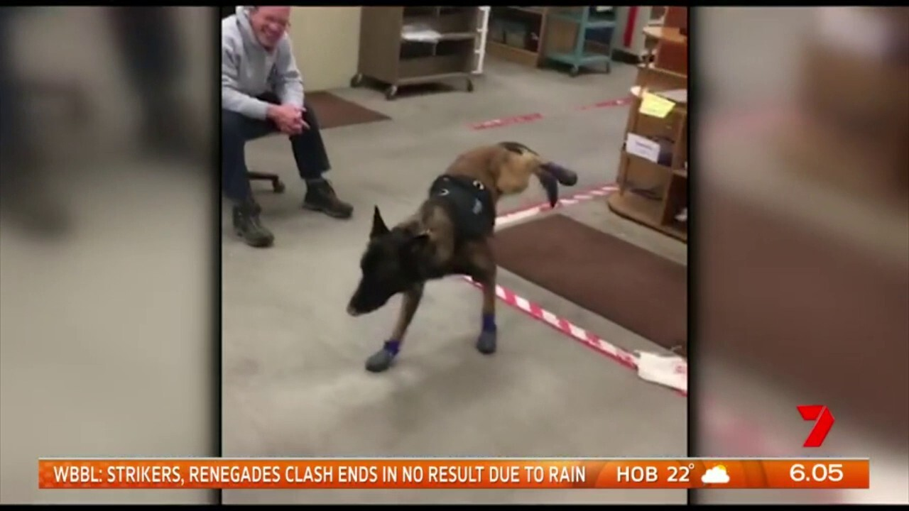 Watch the moment a police dog tries some new winter snow boots for the first time