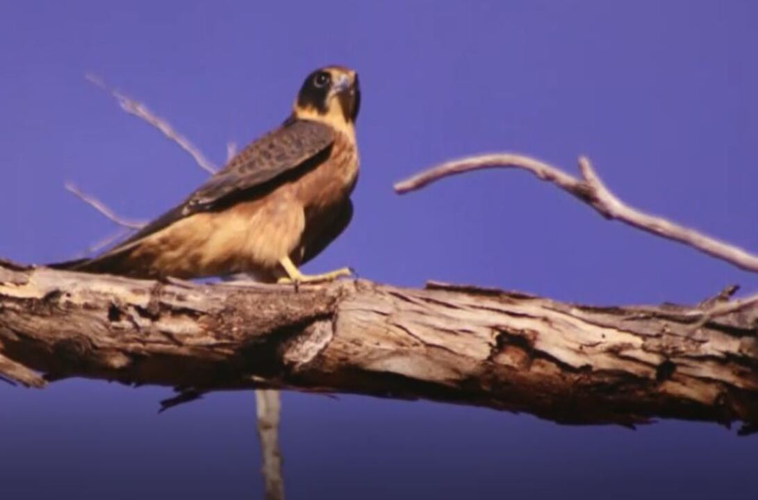 Birdlife Australia Midwest members went out in search of a rare bird in January