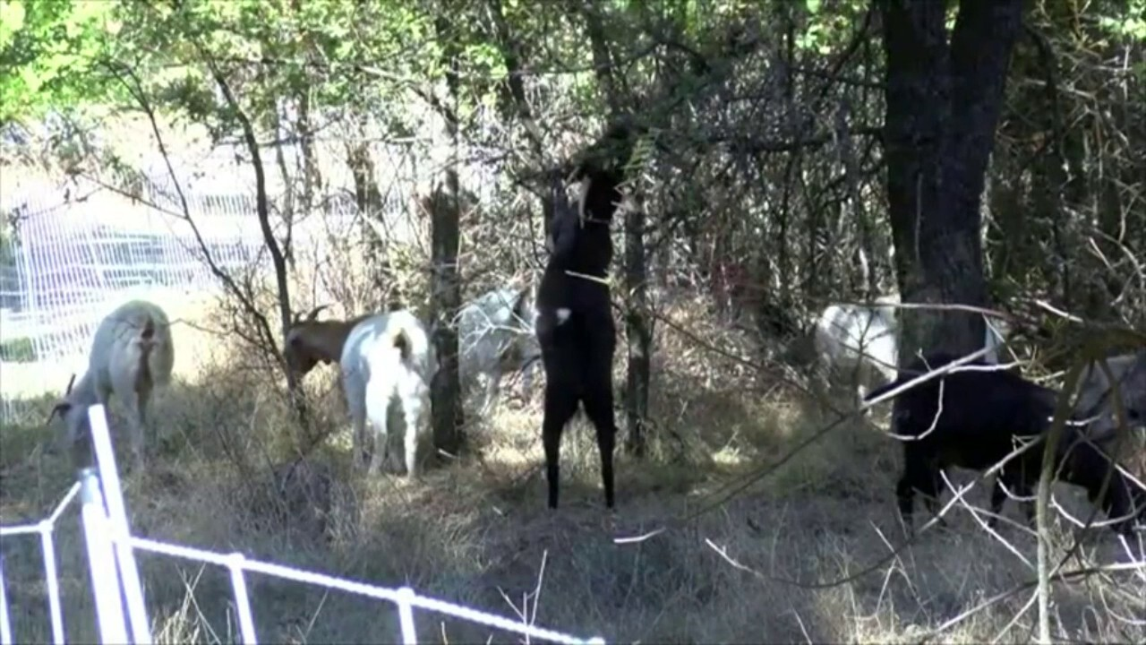 More than 500 goats were released into a field to graze the land to reduce fire risk in northern California