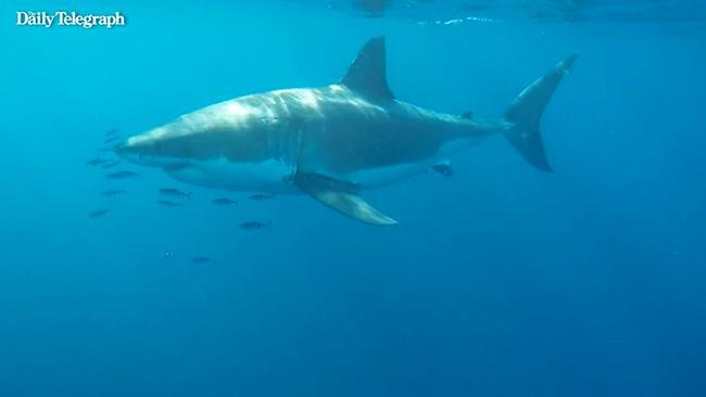 Long Reef shark: Monster great white spotted 500m from