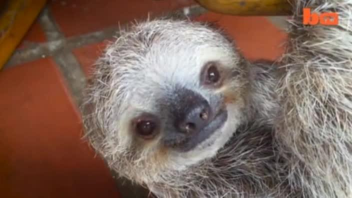 Sloths: Eight things you didn't know