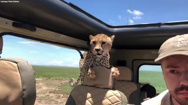 7f24fe40b6b Video: Family chased by cheetahs at safari park