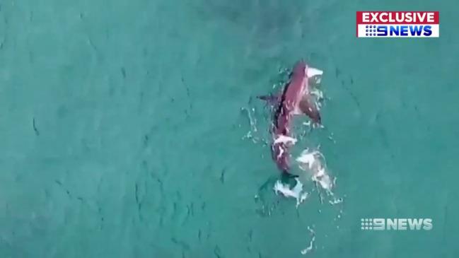 Bondi Beach: Drone shows great white shark hunting just