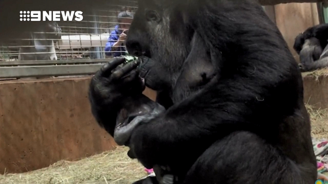 The National Zoo in Washington DC Welcomes A Newborn Baby Gorilla