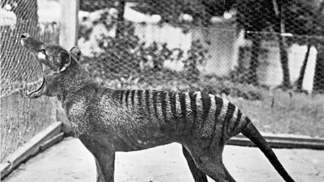 Tasmanian tigers on Australian mainland 'killed off by drought'