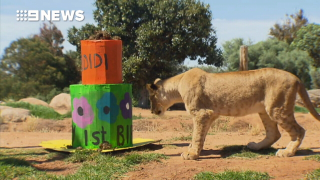 Lions eat suspected big cat poacher - 9News