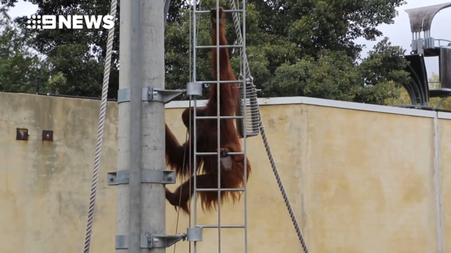 Oldest known Sumatran orangutan dies in Australia
